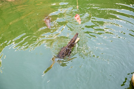 Crocodile farm in Phuket, Thailand. Dangerous alligator in wildlife photo