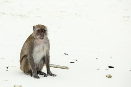 Monkey beach. Crab-eating macaque at  Phi-Phi, Thailand photo