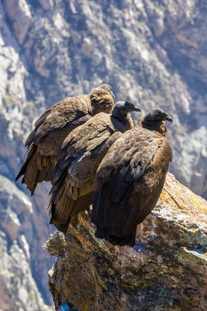 zopilote: Three Condors at Colca canyon sitting,Peru,South America. This is a condor the biggest flying bird on earth