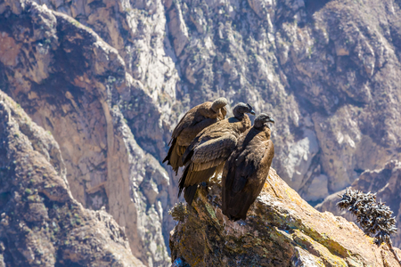 Three Condors at Colca canyon sitting,Peru,South America. This is a condor the biggest flying bird on earth