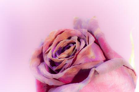 color in: color de tres rosas de color p�rpura en primer plano Foto de archivo