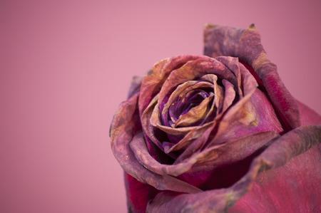 color in: color de tres rosas de color púrpura en primer plano Foto de archivo