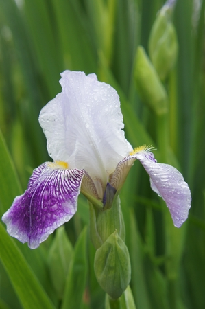 Tall Bearded Iris Aphrodite. Family: IridaceaeBloom. The best of the violet pinks.