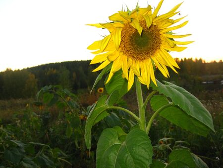 Beautiful yellow sunflower at sunset. Sunflower oil is made from seeds.