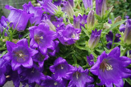 Ringtone or Campanula - purple flowers. Garden flowerbed.