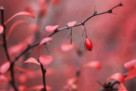 barberry: Barberry berries in autumn garden in October