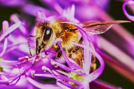 allium flower: Bee on the Allium Flower in the garden in summer