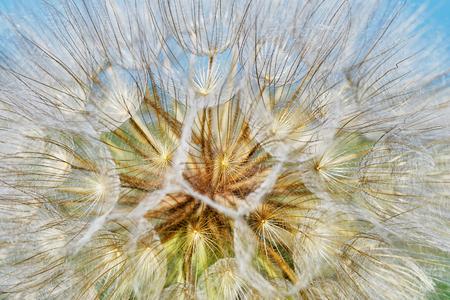 vegetal: Dandelion closeup (texture)