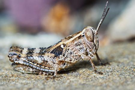 langosta: Larvas de langosta pequeña en el jardín de verano