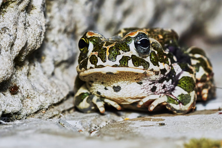 animals amphibious: Green frog in the garden path
