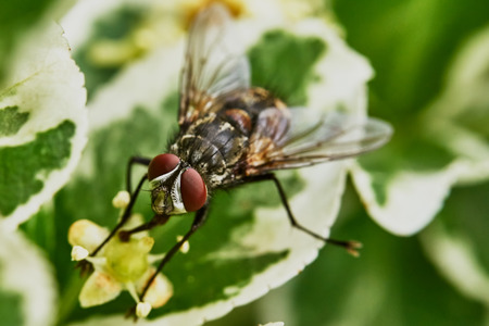 diptera: Gray fly sat down to rest on a hot day