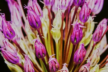 allium flower: Purple Allium Flower Bulbs close-up