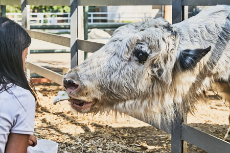yak: Yak in the zoo takes food from people Stock Photo