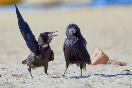 persuade: Crow in something convinces another crow on the beach a summer day Stock Photo