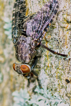 diptera: Interesting fly spotted drinking water on the trunk of the bush
