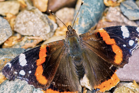 admiral: Admiral (Vanessa atalanta) in the garden on a summer day  basking on the pebbles Stock Photo