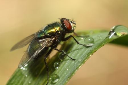 housefly: Housefly Macro