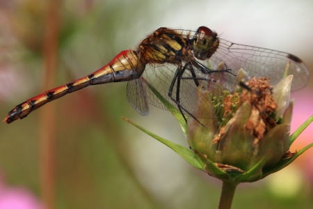 dropwing: Dragonfly