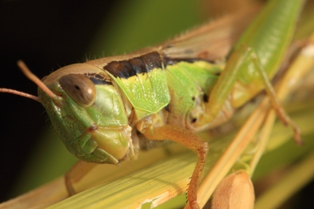 caelifera: Grasshopper on the rice