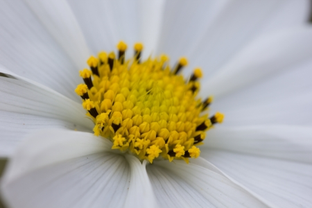White cosmos and purple flower macro, Japan photo