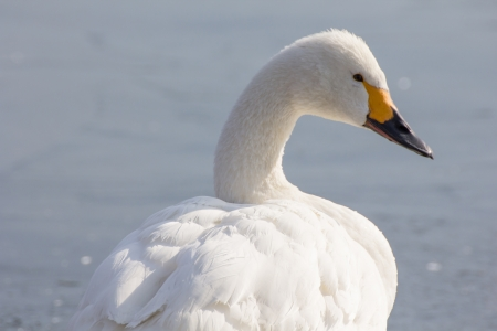 Swan at Suwa lake. winter ice water. photo