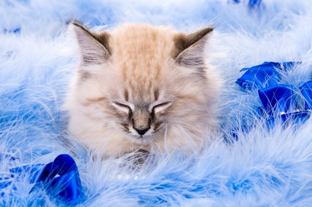 Kitten on New Years blue fluffy coating accessories Stock Photo
