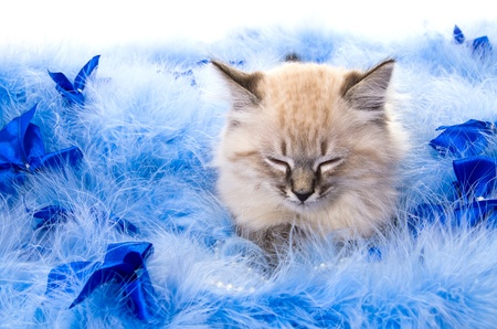 Kitten on New Year's blue fluffy coating accessories photo