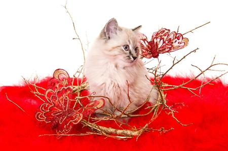 kitten on a red fluffy cover with butterflies photo