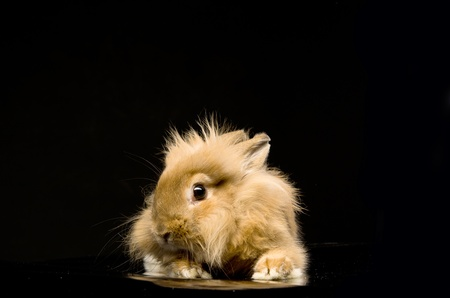 a small fluffy brown rabbit sitting on a black background Stock Photo - 12950692