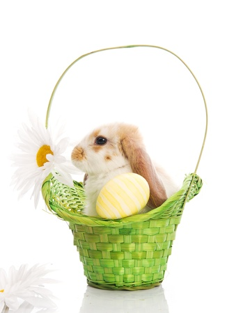 Rabbit in the green basket with daisies isolated on white background photo