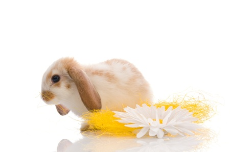 white rabbit with daisy photo