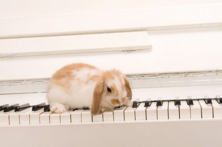 beautiful white rabbit sits on the piano keys photo