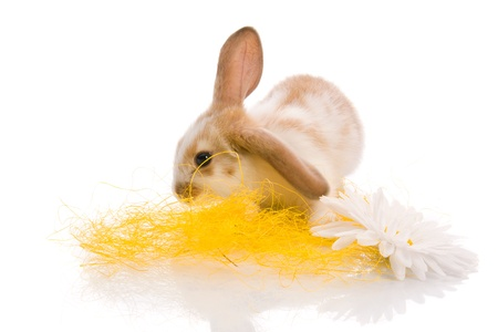 beautiful white rabbit  photo