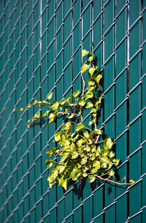Live green ivy located on the wire grid fence with inserted inside plastic green picket fence photo