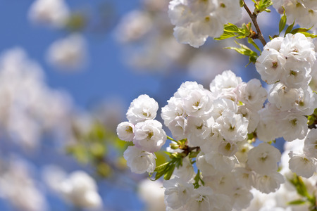 Delicate pale pink cherry blossoms on branches lit by the sun