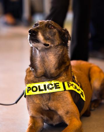 perro policia: Shorthair Entrenado grande de color oscuro con un perro policía signo sentado en el piso del edificio y mira fijamente por delante