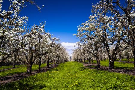 alberi da frutto: Incredibilmente bella piantagione di alberi da frutto in fiore bianco si allunga verso l'orizzonte, piantato in filari, con un prato di primavera luminoso tra di loro, contro un cielo azzurro con nuvole bianche orizzonte Archivio Fotografico