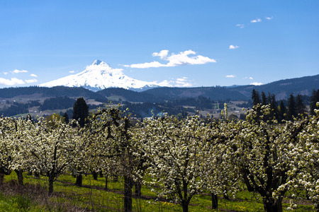 recurrence: Valley of white spring flowering orchards on the background of snowy mountain, hills covered with green trees and clear blue sky Stock Photo