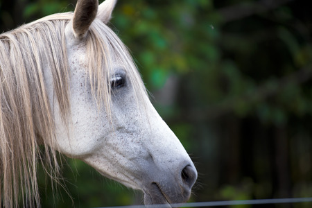 bangs: The head is white thoroughbred domestic horse behind a fence in profile with sad eyes and a mane and bangs hanging to the side on a blurred background of green trees.
