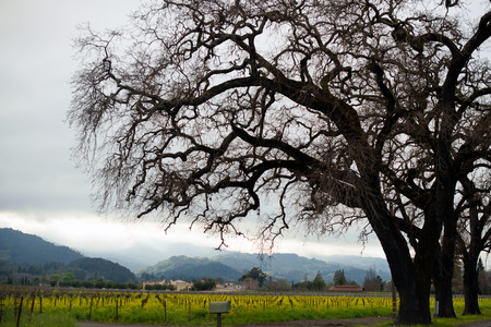coherent: Silhouette of a huge spreading tree with branches spread wide at the plantation of vineyards in Napa Valley planted in neat rows forming a coherent perspective plains abutting hills covered in fog. Stock Photo