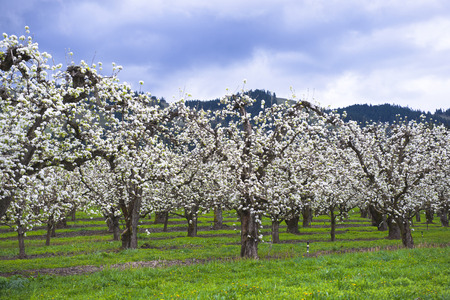 seemed: Fruit orchard in the spring of active profuse blooming trees that seemed dressed in a white dress of the bride. Trees planted in neat rows in Hood River fruit valley in Columbia Gorge area. Stock Photo