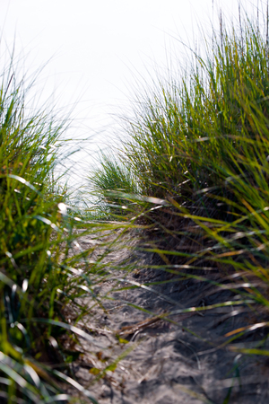 artificially: Thick high juicy green grass grows tufts along the paths trodden among the sand dunes of the coastal strip of the Pacific Ocean along which are many travelers.