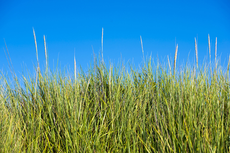 rapidly: Thick high bright green grass with elastic stems standing up rapidly form a dense wall of wild nature green plants against a cloudless blue sky.