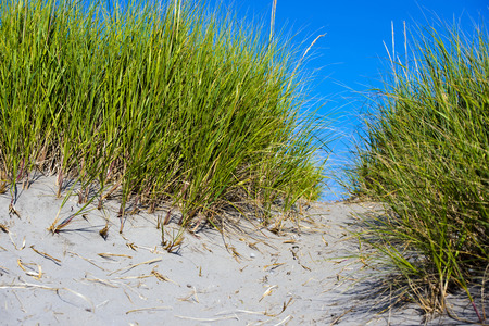 trampled: High bunches of bright green grass growing on sand dunes on either side of the track, which trampled pedestrians like to relax on the sandy shore of the ocean with clean air and healthy blue sky.
