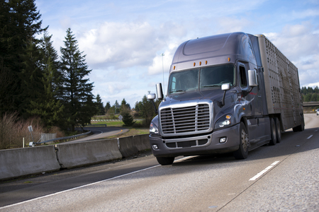 Popular dark semi truck with a high cabin and a trailer for the transport of animals, moving on a broad highway with a restrictive safety units. Stock Photo