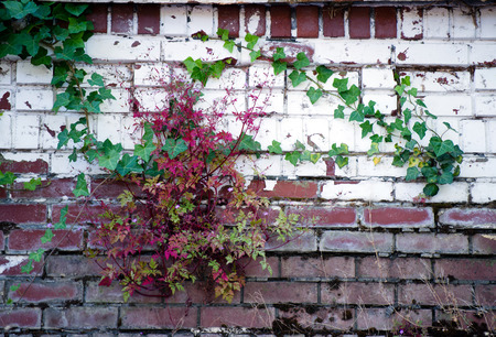old time: Ivy with green and red leaves curls on an old brick wall with white paint peeling off, which brickwork red brick was painted - illustration of the strength and the victory of life over time.