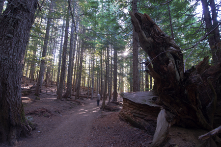powerfull: Old coniferous forest with tall straight trunks of trees, which make their way through the rays of the sun, a large rotten root of a fallen tree, and the path toward the sun, on which there is a traveler Stock Photo
