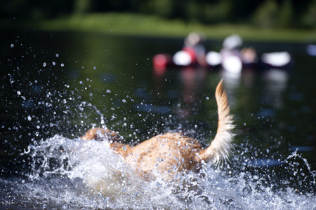 Redhead dog enthusiastically splashing in the lake with clear water lifting a fountain splashes in a hot summer day Stock Photo