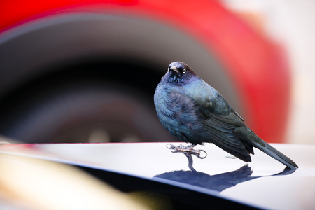 urban wildlife: Small bird with a small beak and colored blue and black feathers sitting on the hood of the car in the parking lot and looking into the camera by watchful eye checking for danger. A perfect example of wildlife in an urban city.