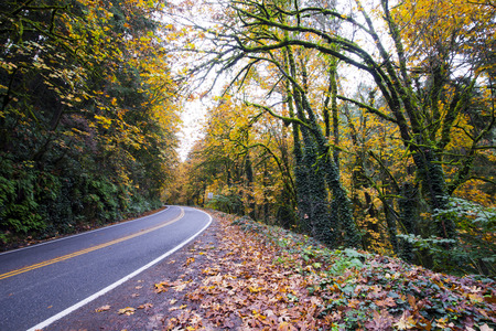 Winding road through the beautiful wild autumn forest with fallen leaves on the roadside, yellowed with moss-covered trees, trunks wrap a thick ivy, with trees hanging over the road - a great place enjoying the wildlife at the wheel of the car.